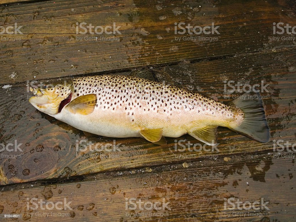 Brown Trout on Dock royalty-free stock photo