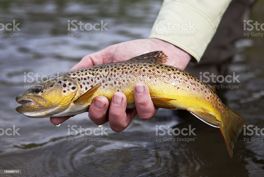 Brown Trout royalty-free stock photo
