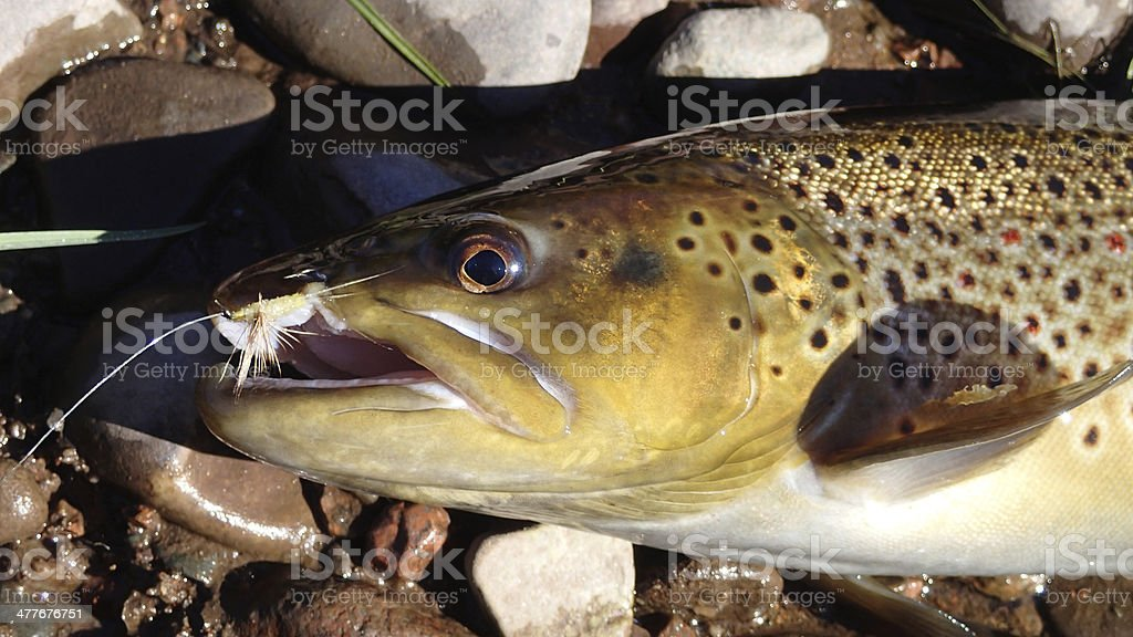 Brown Trout - River Philip, Nova Scotia royalty-free stock photo