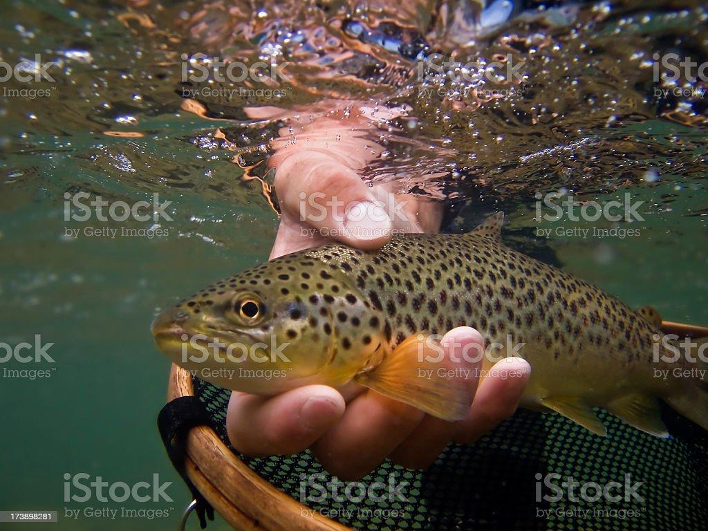 Brown Trout, Salmo trutta stock photo