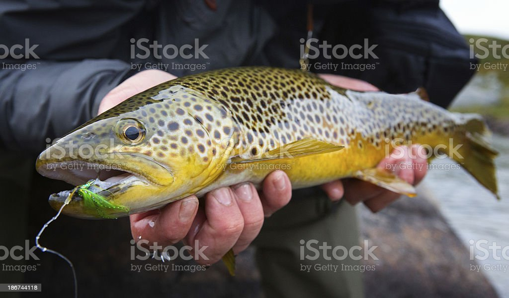 Brown Trout - Salmo trutta stock photo