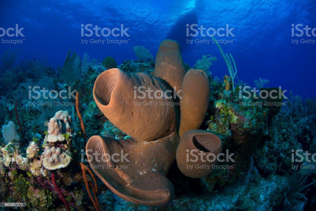 Esponja tubo marrón (Agelas tubulata) - foto de stock