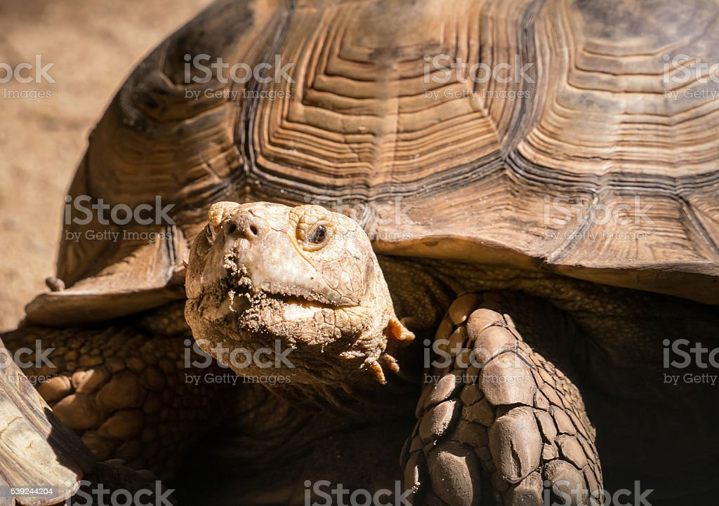 Brown turtle royalty-free stock photo