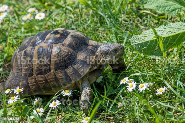 Brown turtle running through sunlit green meadow with flowers picture id952050758?b=1&k=6&m=952050758&s=612x612&h=efsdyg2tidx7rp9mn6nux5zpjd  l6rkv5mnrefbhp8=