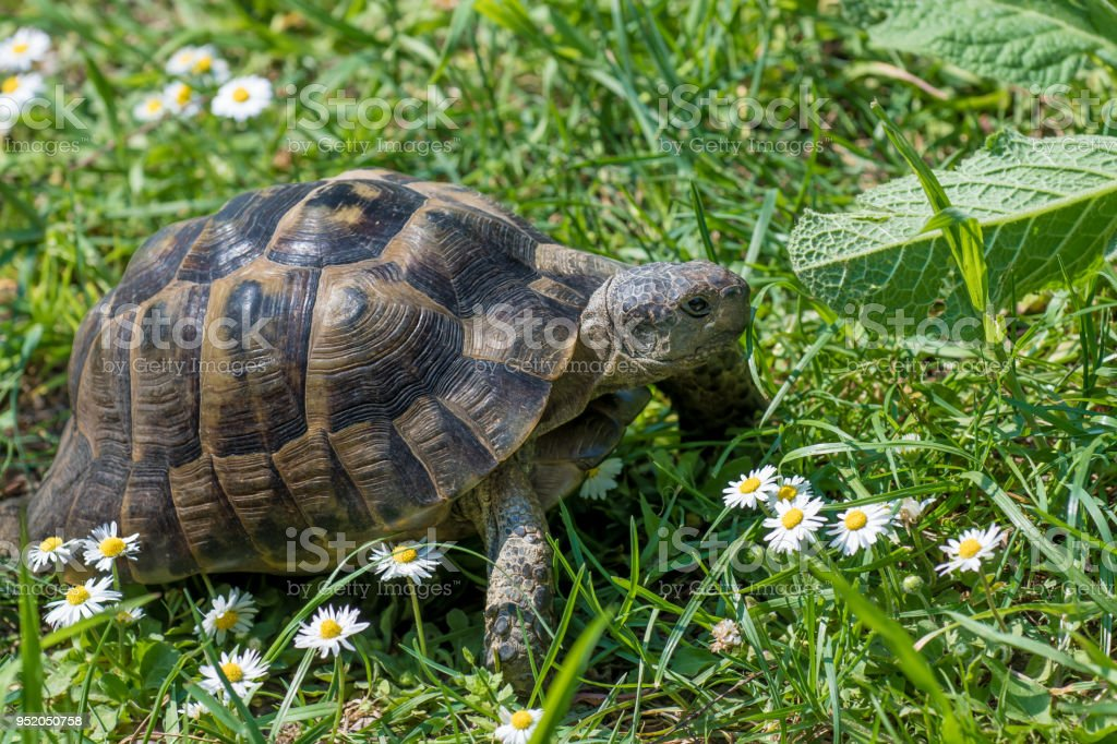 Brown turtle running through sunlit green meadow with flowers stock photo