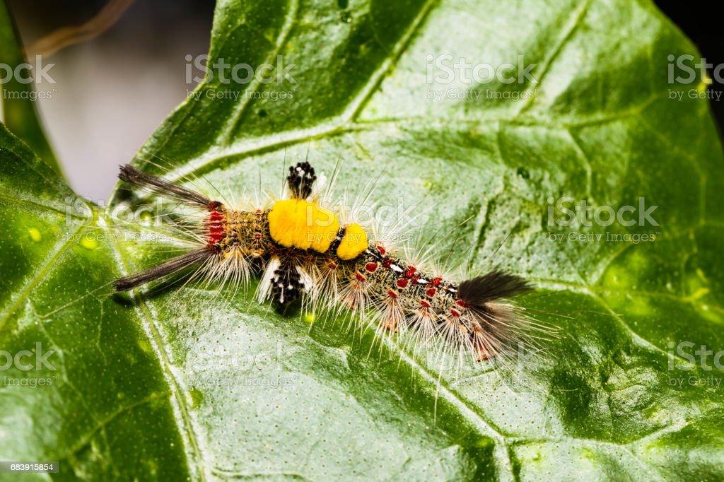 Brown Tussock Moth Olene mendosa stock photo