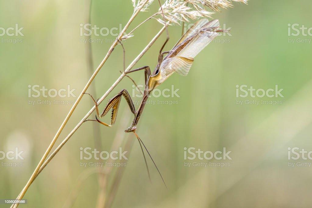 Brown Variant Of A Mantis Religiosa Common Name Praying Mantis