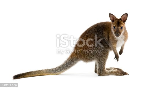 Wallaby in front of a white background.