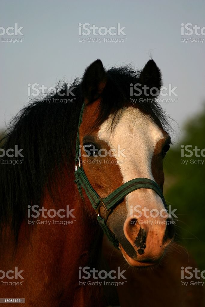 Brown welsh pony royalty-free stock photo