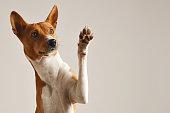brown white basenji dog smiling