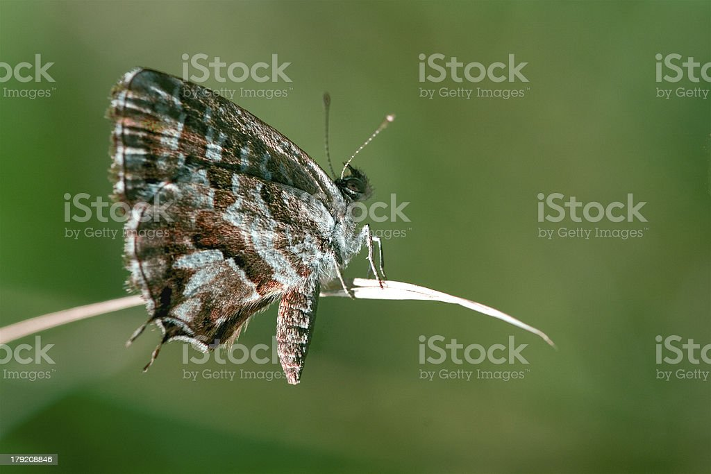 brown white butterfly royalty-free stock photo