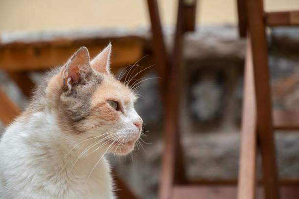 braun-weiße katze außerhalb - suche katze stock-fotos und bilder