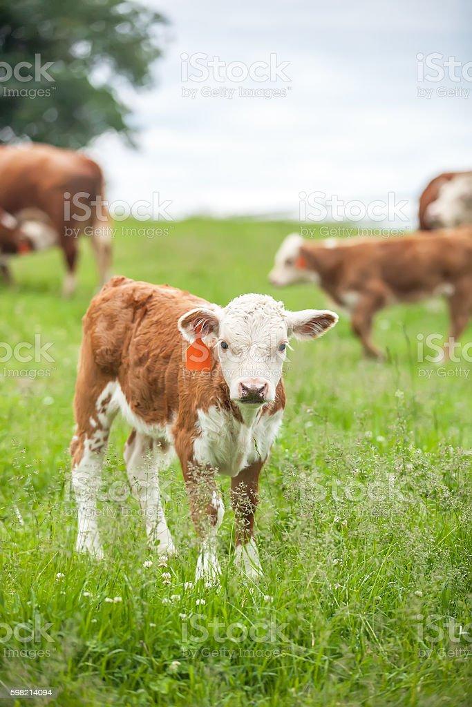 Brown & branca em pé em Hereford Calf Pasture foto royalty-free