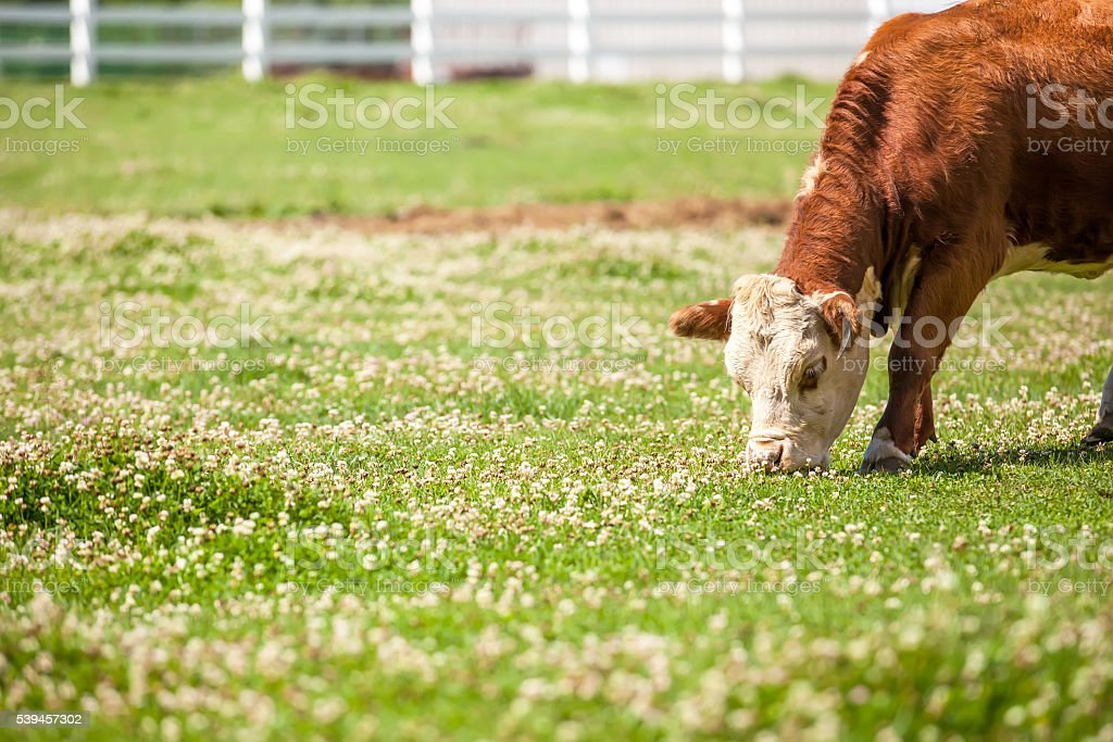 Brown & White Hereford Cow Grazing in Pasture stock photo