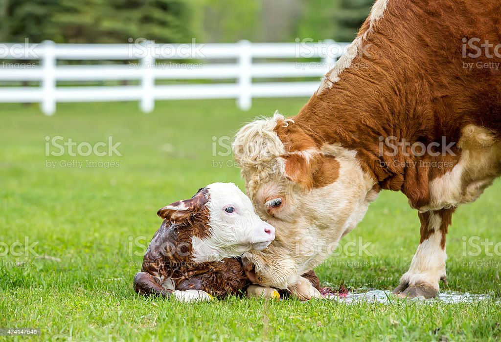 Brown & White Hereford Cow Licking Newborn Calf stock photo