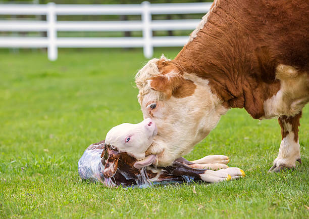 Brown & White Hereford Cow Licking Newborn Calf Close-up view of a brown and white Hereford cow licking her newborn calf. The calf is lifting his head up and is still partially covered in the amniotic sac. The calf's tongue can be seen licking off the calf. newborn animal stock pictures, royalty-free photos & images