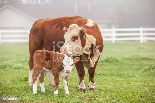 Close-up of a brown and white Hereford cow and her young calf. Photo taken on a foggy early summer morning. There are no people visible in this image. Both animal have mostly brown bodies with mostly white faces. They are standing side by side in the pasture and the cow is licking the side of her calf's body.