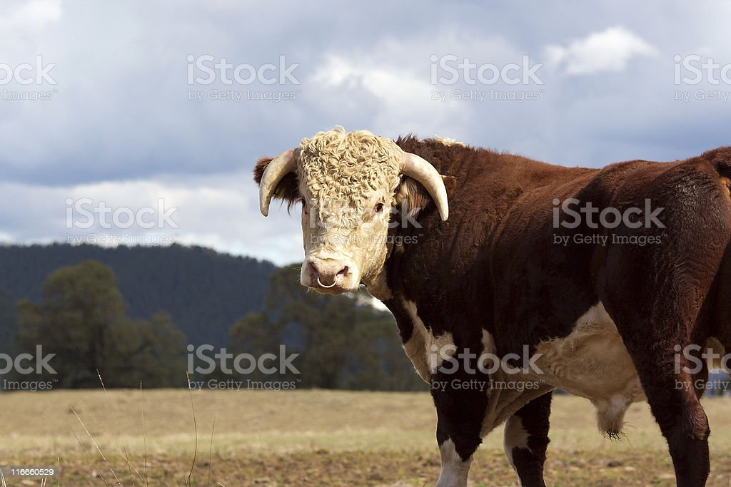 Brown & white Herefordshire bull royalty-free stock photo