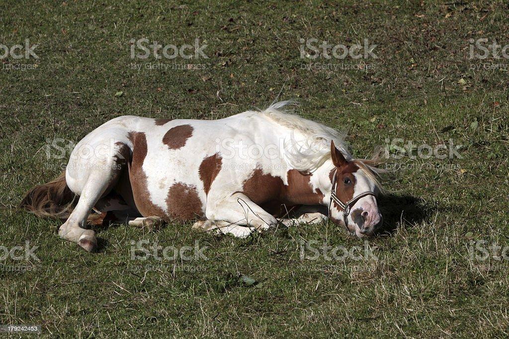 Brown white Pinto royalty-free stock photo