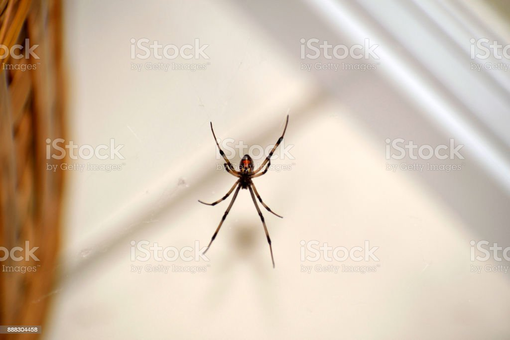 A Brown Widow On Its Web stock photo