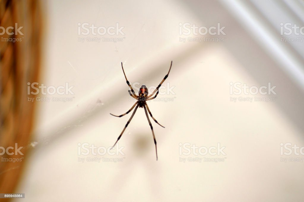 A Brown Widow Spider On Its Web stock photo