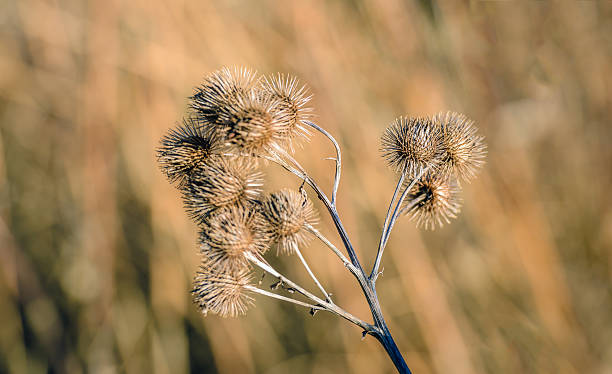 Brown withered lesser burdock stems and seedheads from close - Photo