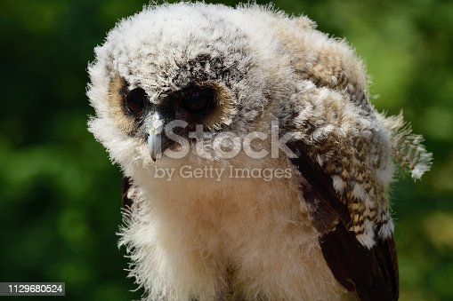 Close up portrait of a baby brown wood owl (strix leptogrammica)