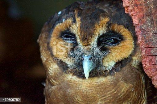 Name: Brown wood owl