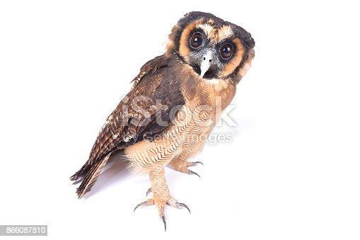 Brown wood owl, Strix leptogrammica
