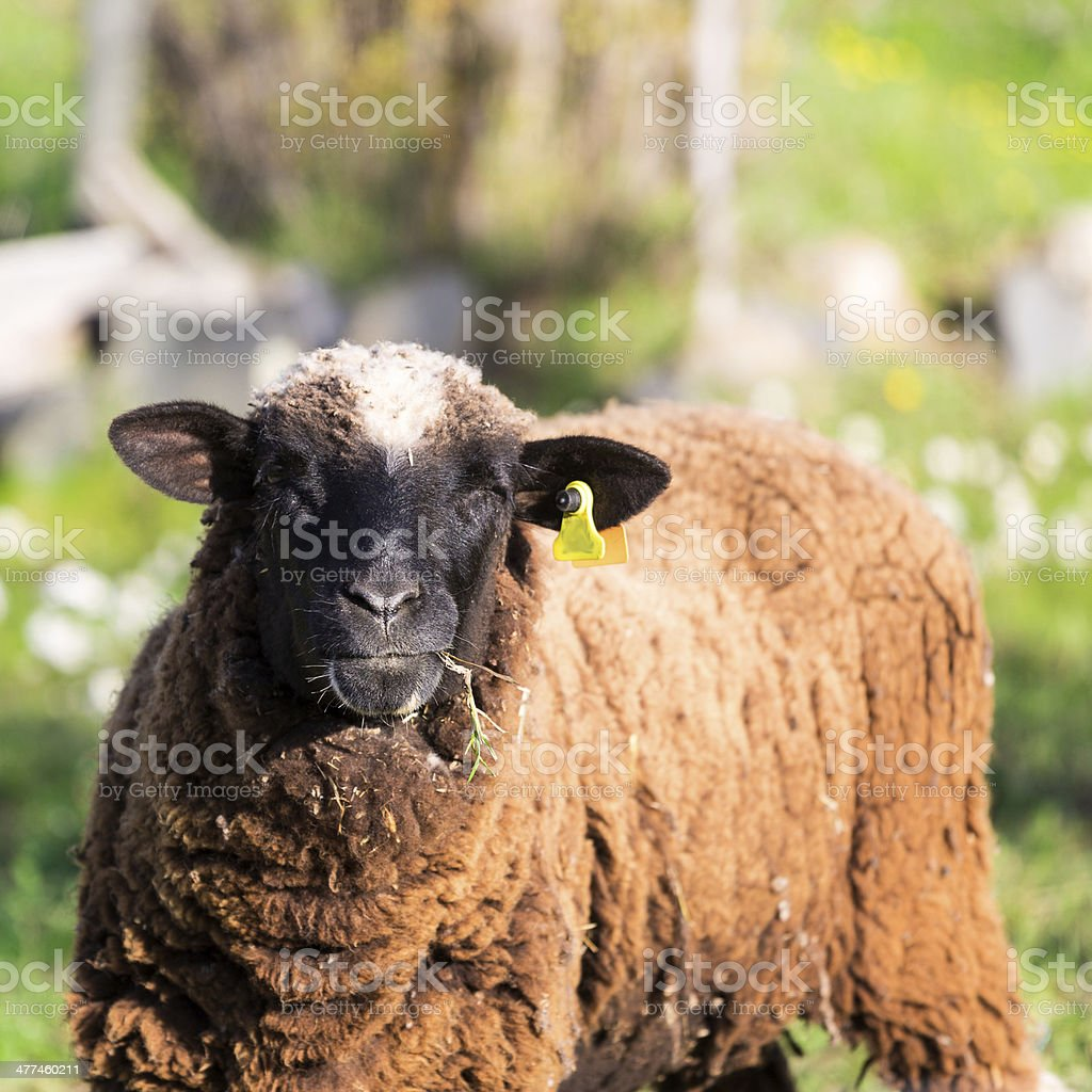 Brown Woolly Sheep stock photo