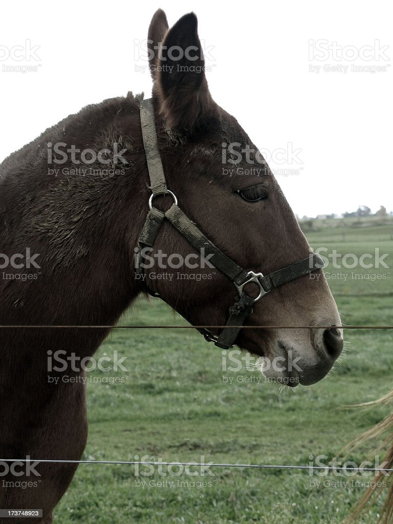 Brown Work Mule In The Pasture royalty-free stock photo