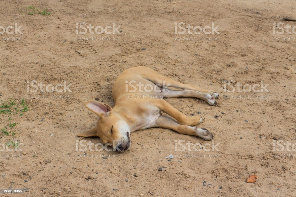 brown young dog on the sand foto de stock royalty-free