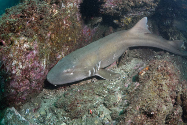 Brown-banded Bamboo Shark, Queensland, Australia