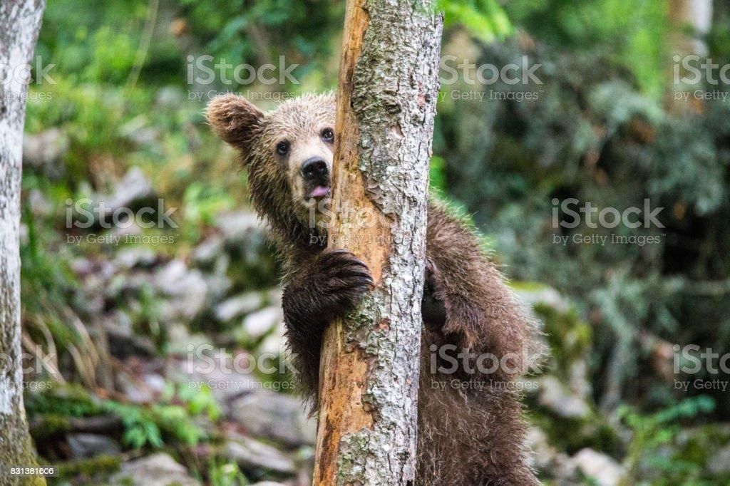 Brownbear Slovenia stock photo