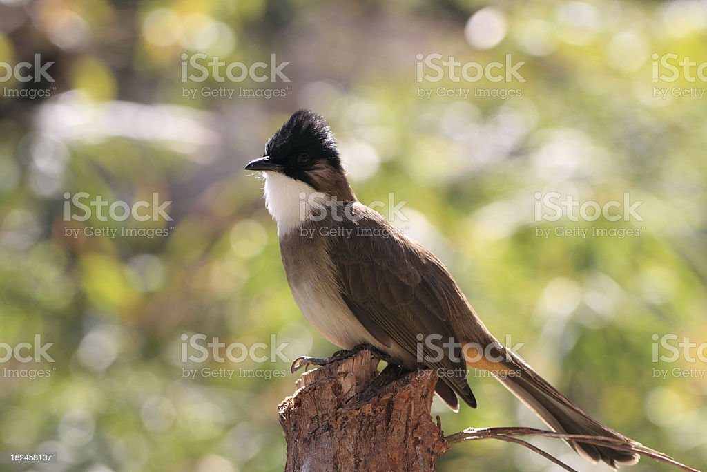 Brown-breasted Bulbul royalty-free stock photo