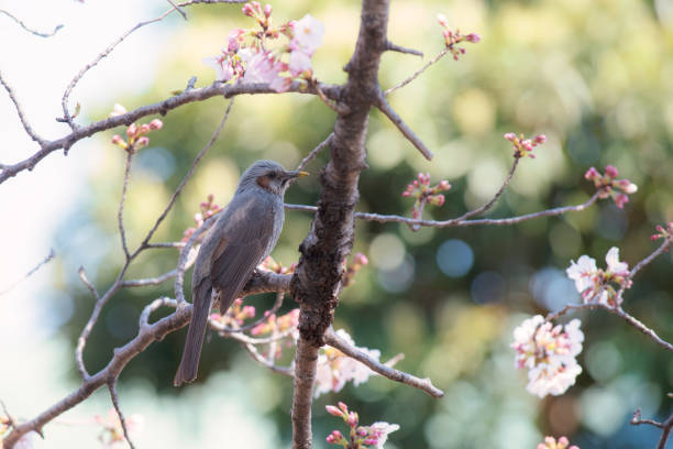 A Brown-eared bulbul alone in the cherry blossoms in Tokyo. stock photo