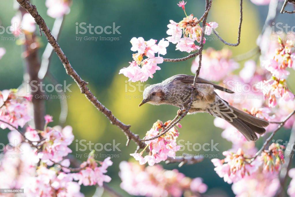 Brown-eared bulbul and sakura tree stock photo