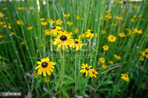 Brown-Eyed Susan flowers amongst reeds.