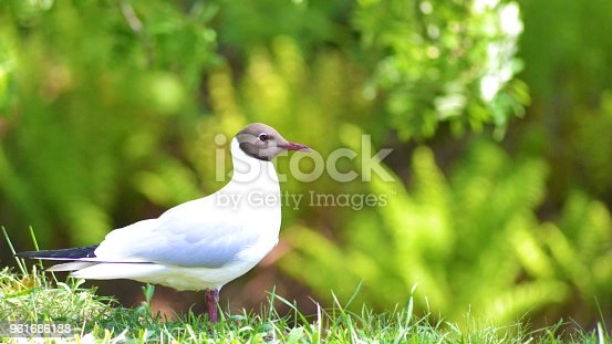 istock Brown-headed gull in the grass with copy space 961686188