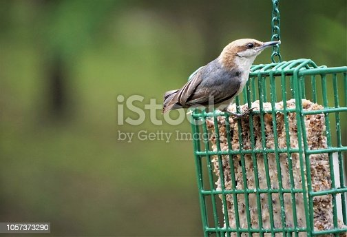 A cute BROWN-HEADED NUTHATCH (Sitta pusilla) perching on green suet feeder enjoy eating and relaxing  on the soft focus background, Spring in GA USA.
