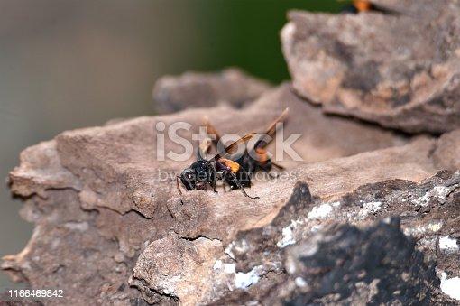 972704120istockphoto Brownish black wasps, wings stretched dark brown 1166469842
