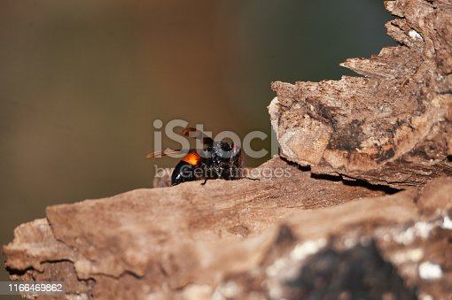 972704120istockphoto Brownish black wasps, wings stretched dark brown 1166469862