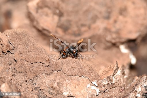 972704120istockphoto Brownish black wasps, wings stretched dark brown 1166469878
