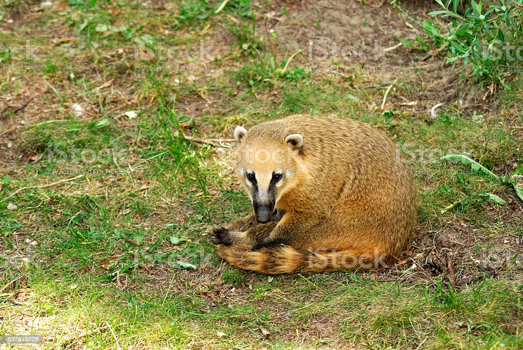 Brown-nosed Coati sitting funny and looking at me stock photo