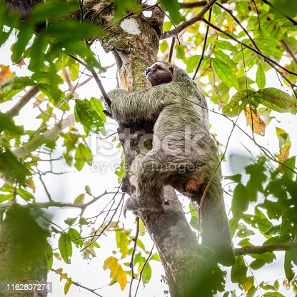 Brown-throated Sloth climbing a tree in tropical forest in Costa Rica