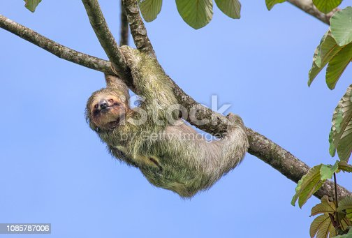 Brown-throated three-toed sloth (Bradypus variegatus), Costa Rica