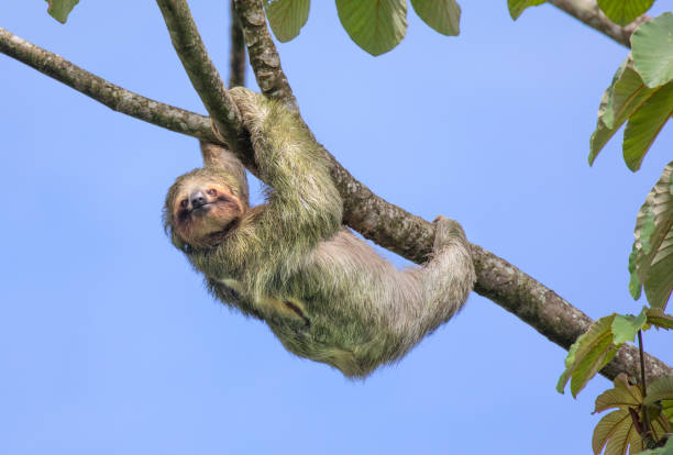 brown-throated three-toed sloth, costa rica - sloth stock pictures, royalty-free photos & images