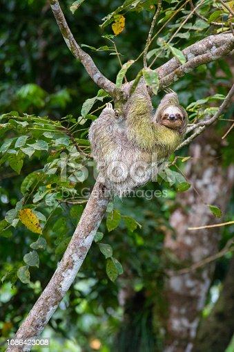 Brown-throated three-toed sloth (Bradypus variegatus), Costa Rica