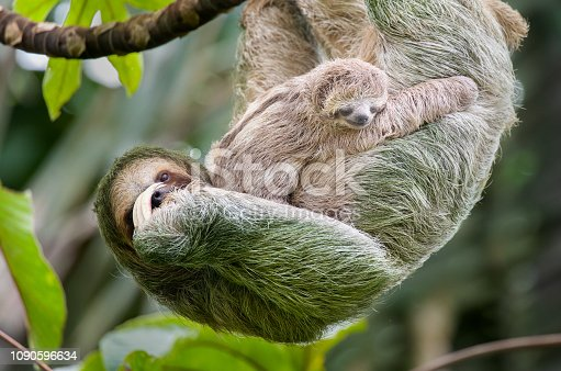 istock Brown-throated three-toed sloth mother and baby hanging in a treetop, Costa Rica 1090596634