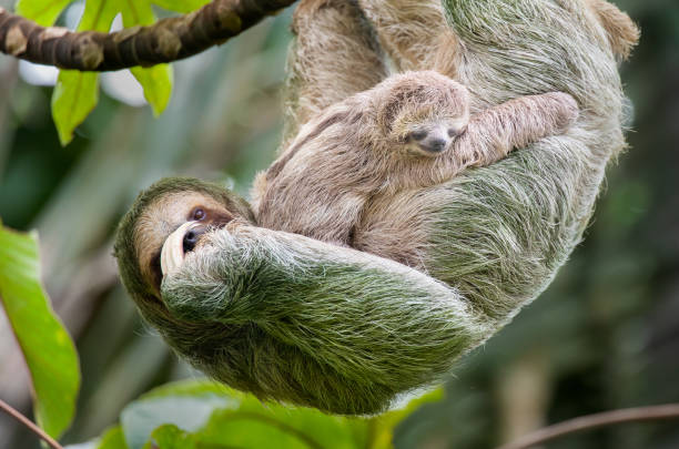 Brown-throated three-toed sloth mother and baby hanging in a treetop, Costa Rica Brown-throated three-toed sloth (Bradypus variegatus), Mother and Juvenile, Costa Rica animal family stock pictures, royalty-free photos & images